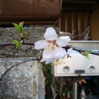 アーモンドの花が咲きました