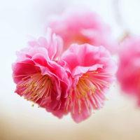 紅梅 (花 4242)