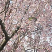 東慶寺の彼岸桜、満開 妙本寺の海棠、開花