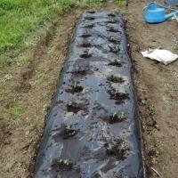 枝豆を定植。