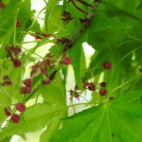 『モミジ』の花と種!