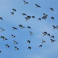 『アオバト』 群れ飛ぶ