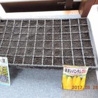 2017年5月25日:丹波の黒大豆を播種しました。