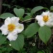 夏椿(なつつばき)という花