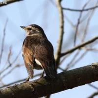 家の周りの小鳥たち コゲラ、ツグミ、モズ