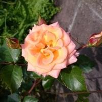 薔薇、あちこちに。