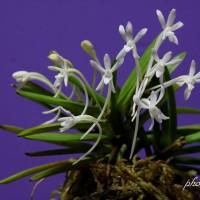 富貴蘭 姫孔雀の花