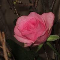 生け花の花が、綺麗に咲いて。(フリージャー、バラ、小豆桜、オカメ桜)