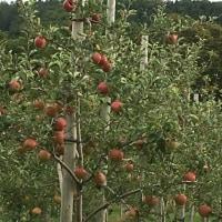 りんごの具合