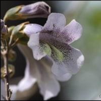 桐の花は芳香