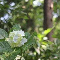 水無月十七日、白集真藍― Hydrangea