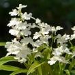 ウチョウランの仲間(2)~白花と白紫点花