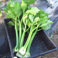 来年4~5月収穫予定のキャベツ