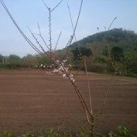 紫花豆の種蒔き