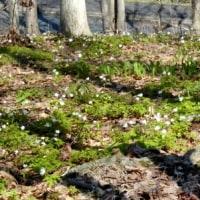 伊達方面へドライブ2)キクザキイチゲや小さな花