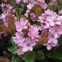 季節の花「丸葉車輪梅(まるばしゃりんばい)」