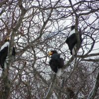 朝から鷲がいっぱいだ~ ドカンとくる日も・・・