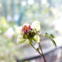 緑色に咲くバラ