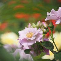 今がシーズンバラの花