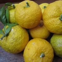 信夫山の柚子