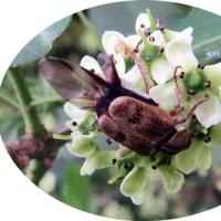 マユミの花に来ていた虫を撮ってはみたものの名前が不確定です