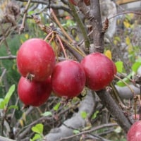 ヒメリンゴ(姫林檎)
