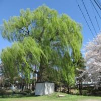 桜景色(#^.^#)
