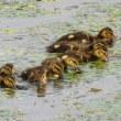 モエレの水鳥たち 7/27 バンの幼鳥と マガモのビスケット軍団
