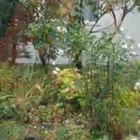 雨の庭と窓辺の七宝樹