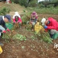 2016年10月22日(土) 種用落花生の収穫