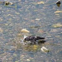 烏の水浴び