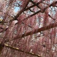 ピンクの藤棚