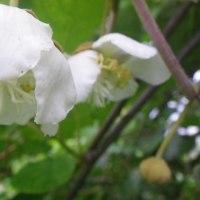 キウイフルーツ開花始まる、白サビ病増える
