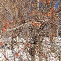 雪の中の木の実