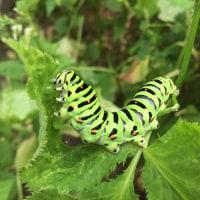 キアゲハの幼虫、ミツバの葉を食事中