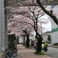 桜咲くとずーと続く