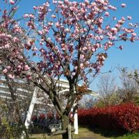 琵琶湖畔の芝桜ボタン桜しだれ桜