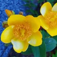 ◆ 今は黄色の花咲く駅前広場