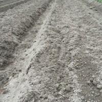 3月ジャガイモの植え付けを行う
