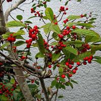 梅擬(うめもどき)の赤い実