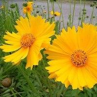 季節の花「金鶏菊 (きんけいぎく)」