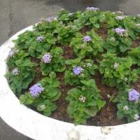 夏花の植え付け