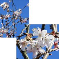 きれいに咲いている十月桜
