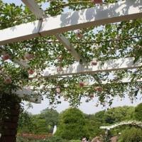 バラ 府立植物園