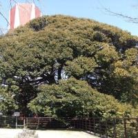 たった1本で森をつくっているかのよう・・・一本杉公園のスダジイを見に行く