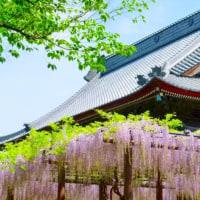 藤の花咲く・・・信州上田の初夏・・・上田国分寺を尋ねる