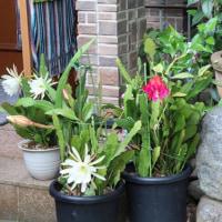 孔雀サボテン・白い花
