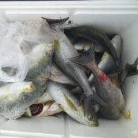 周年釣れます イサキと鯛は
