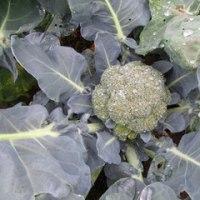 冬用ブロッコリーの種まきしました
