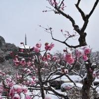 瑠璃光寺五重塔と雪と梅